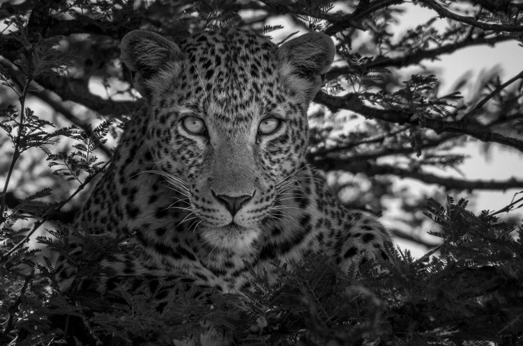 FREE LEOPARD Limited Edition 3/20 - Image 0