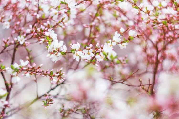 Cherry Blossom I, 2016 !!SALE!! -