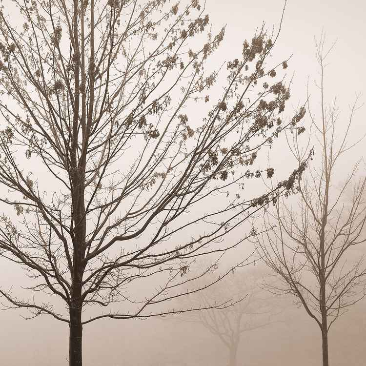 Maple Trees in Fog -