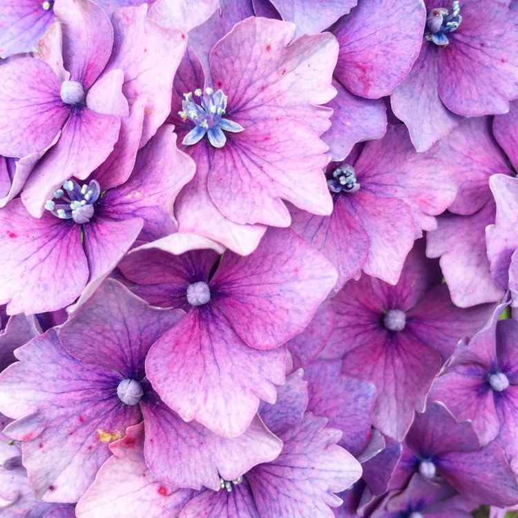 Pink Hydrangea -