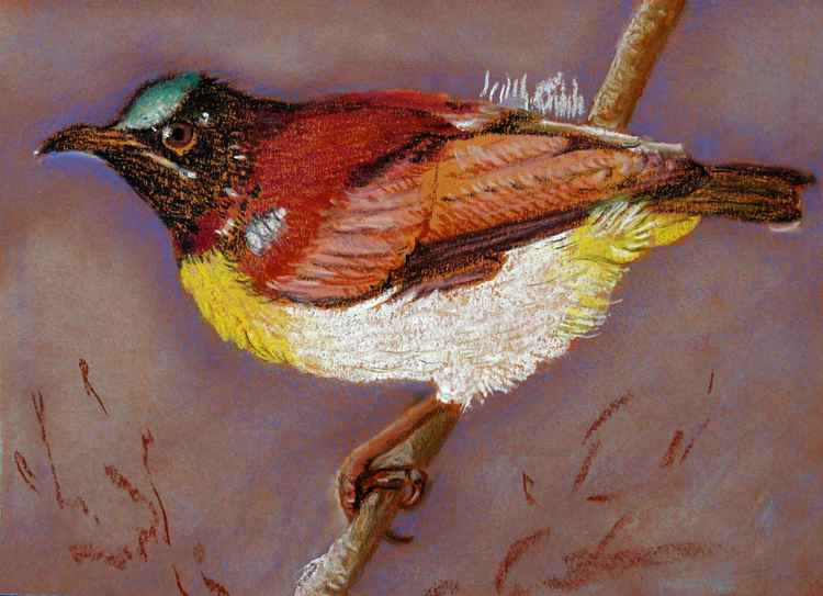 Purple Rumped Sunbird -