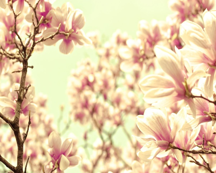 Magnolia Dreams - Image 0