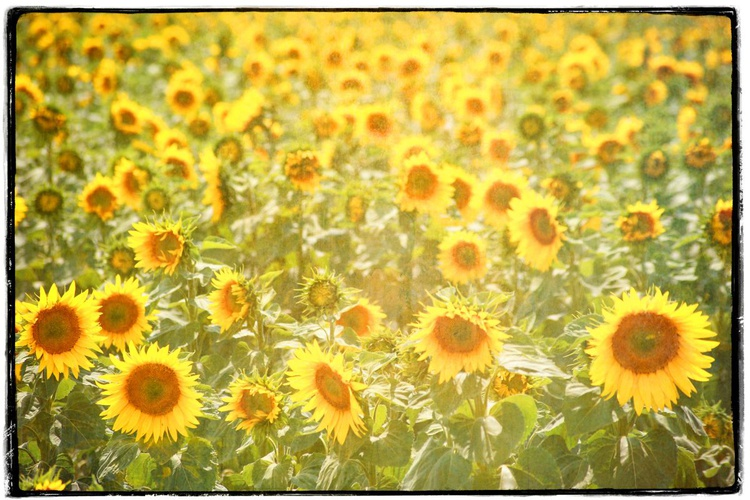 Large Canvas Print on Stretcher  - Sunflowers - Image 0