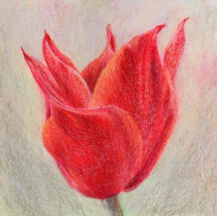 Red tulipe 2