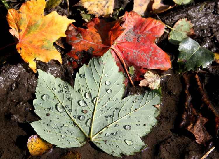 Wet Autumn Leaves -