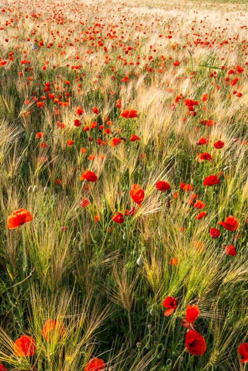 Poppy Meadow  - Limited Edition Print - Image 0