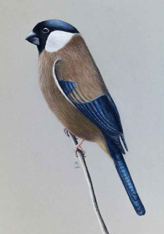 "Original pastel drawing ""White-cheeked Bullfinch"" -"