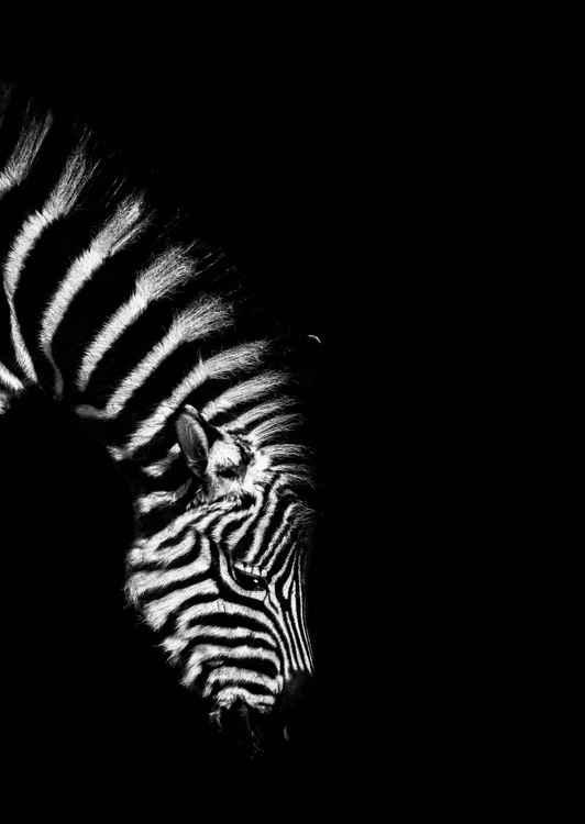 Baby Zebra Grazing -