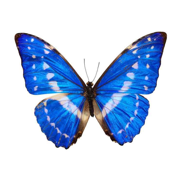 Blue Morpho - Morpho rhetenor -