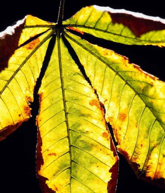 Fall Horse Chestnut Leaf -