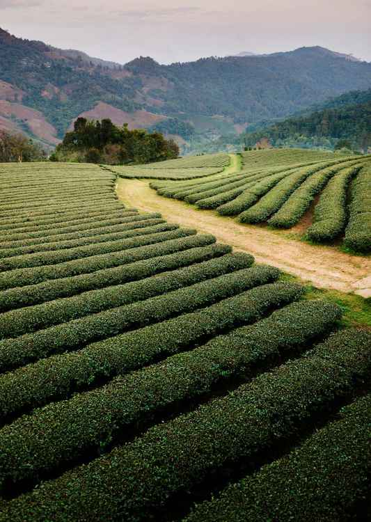 Mae Salong Tea Plantations, Thailand. (30x42cm) -