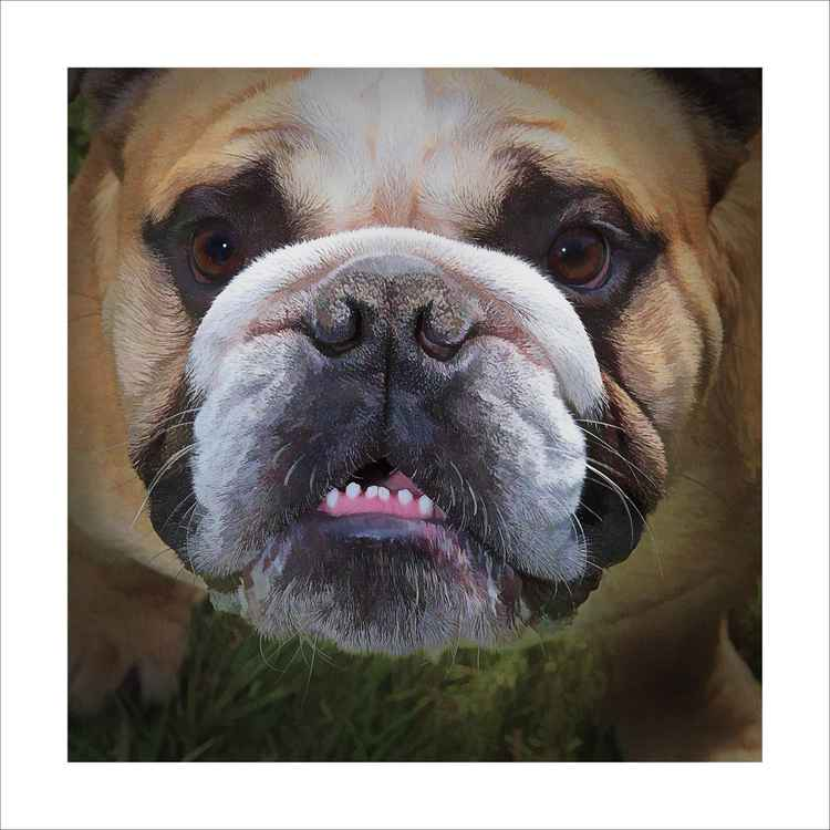 Bulldog Smiler -
