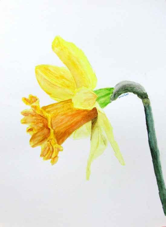 Daffodil -