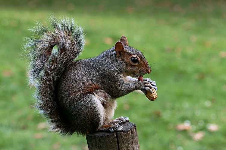 Hungry Pregnant Squirrel eating Peanut (Arachis hypogea), sitting on a tree stump, in St James's Royal Park London England