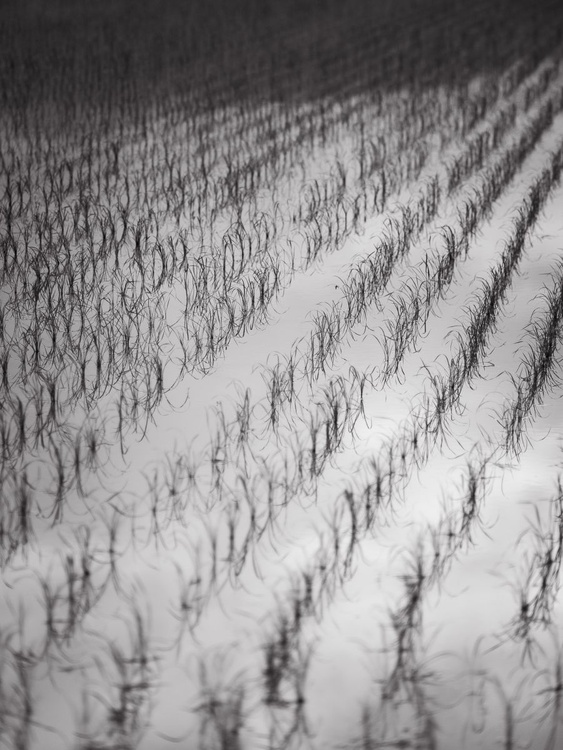 Rice Paddy, from the Japan Notebook. - Image 0