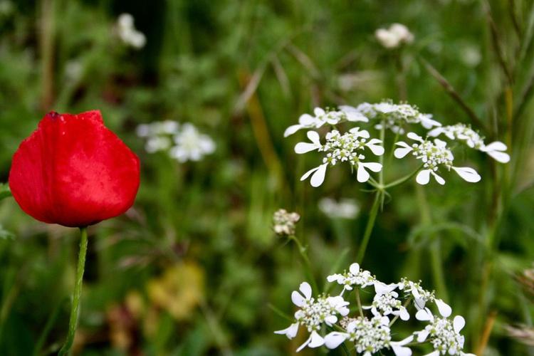 A shy poppy - Image 0