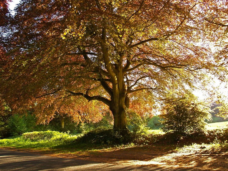 Copper Beech in Rural Hampshire - Image 0