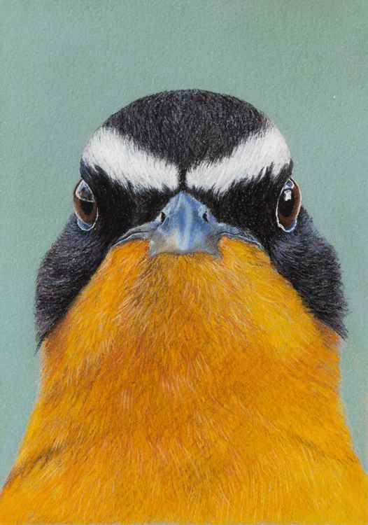 "Original pastel drawing ""White-browed robin-chat"" -"