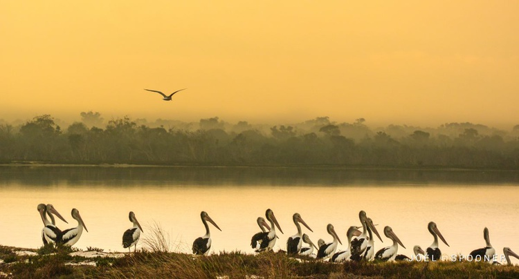 Morning Pelicans - Image 0