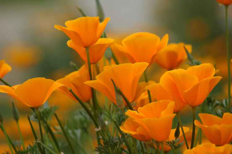 Californian poppy -
