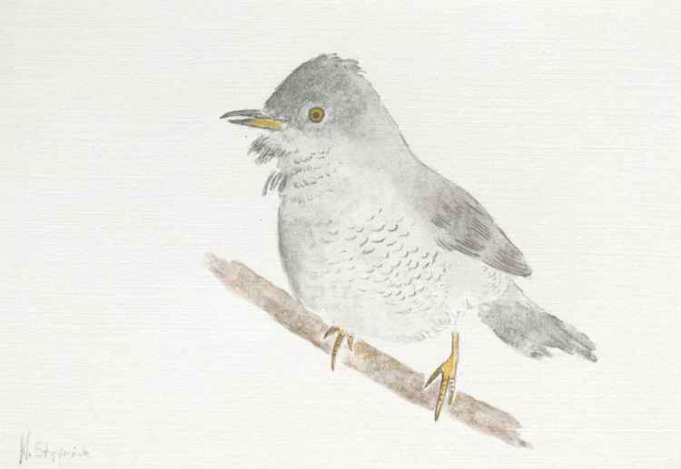 The barred warbler -
