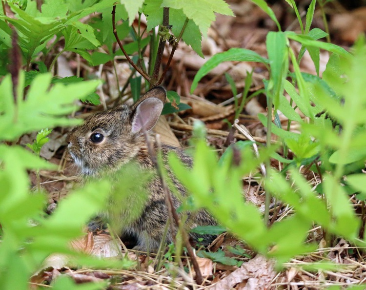 Baby Bunny in the Ferns - Image 0