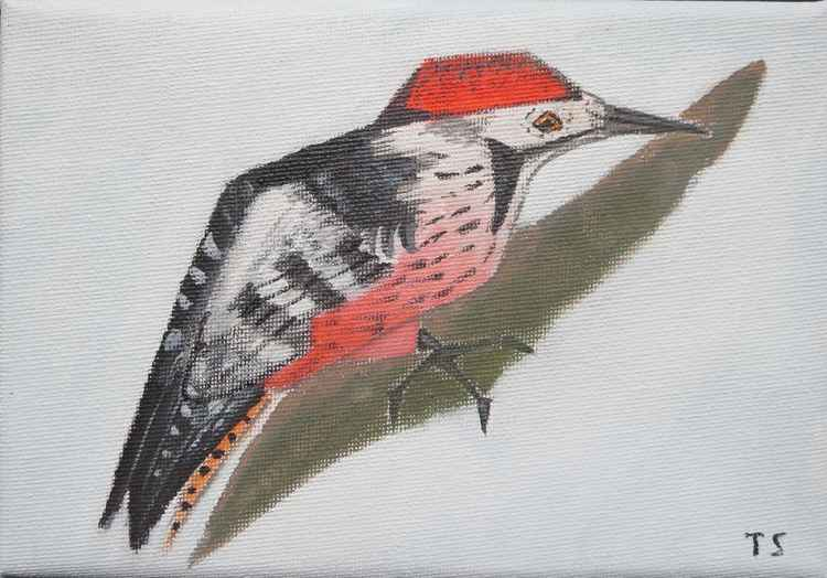 White-back woodpecker