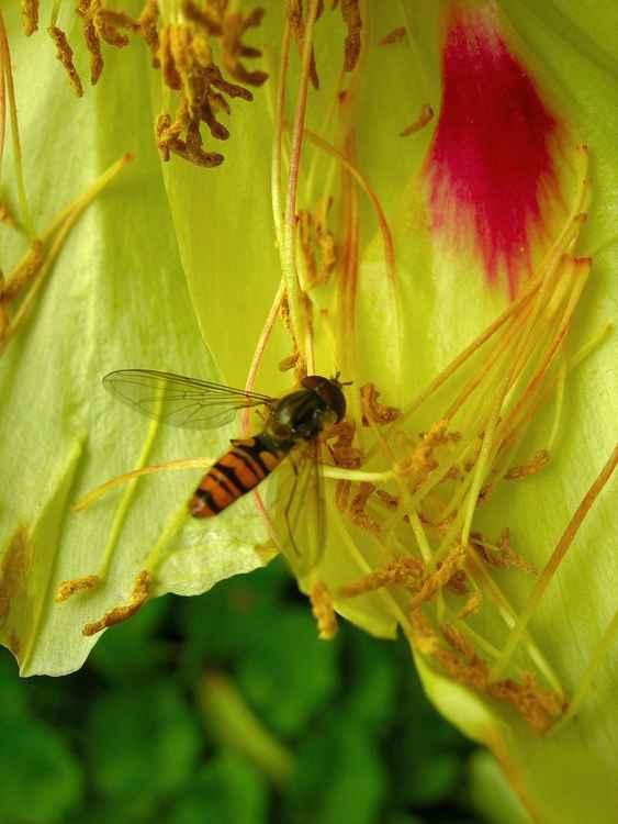 Wasp on peony -