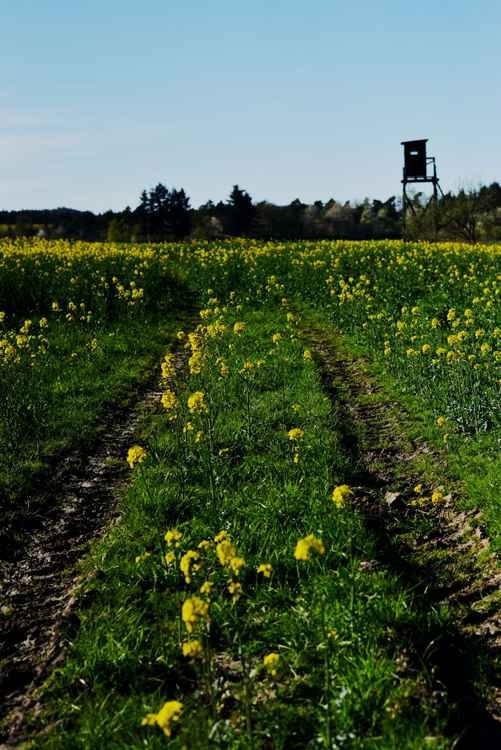Rape field