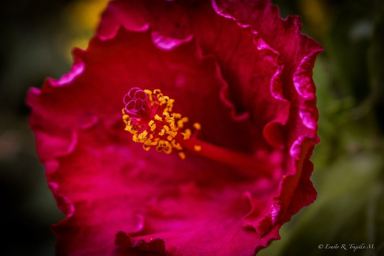 """Red """"Flor de Cayena"""" or Hibiscus # 2 - Image 0"""
