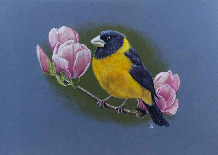 """Original pastel drawing """"The collared grosbeak"""" -"""