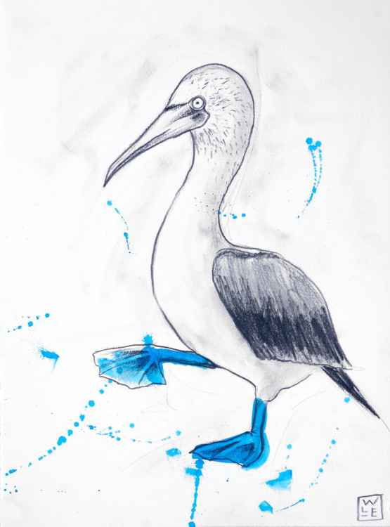 Blue Booby -