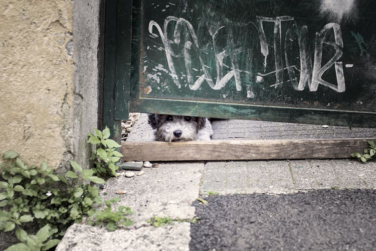 Poodle Dog - Image 0