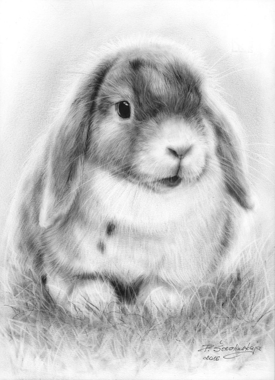 Lop Eared Rabbit - Image 0