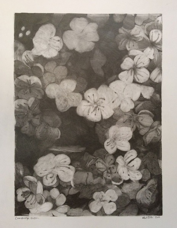 Cambridge Blossom drawing - Image 0