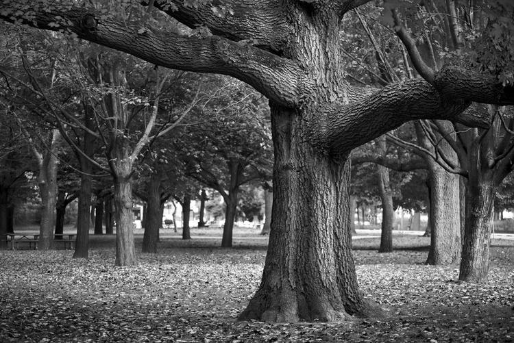High Park Tree - Image 0