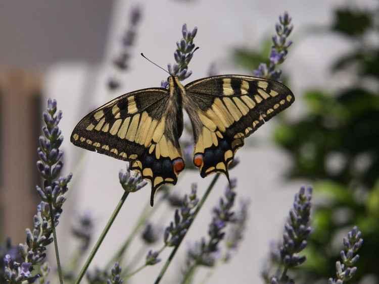 Old World Swallowtail No. 1