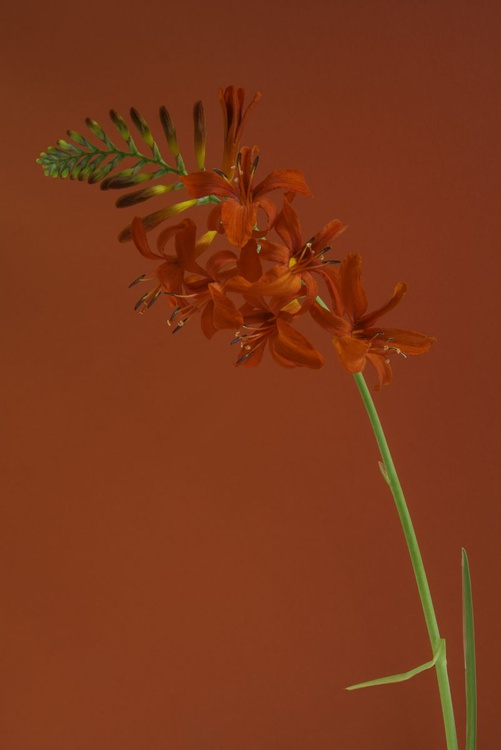 Crocosmia 'Lucifer' on a Red Background. - Image 0