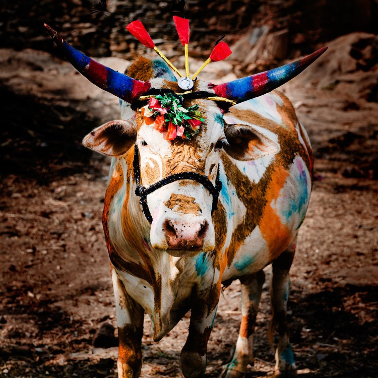 Day Of The Cow I (127x127cm) - Image 0