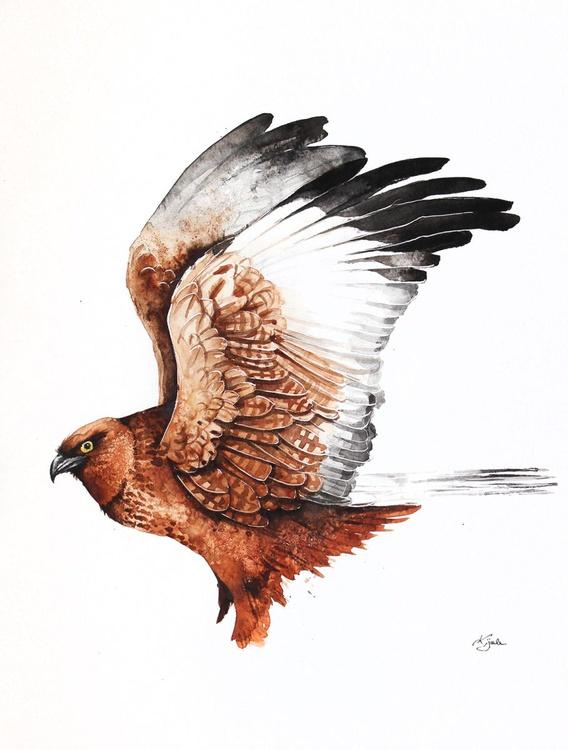 Western Marsh Harrier - Image 0