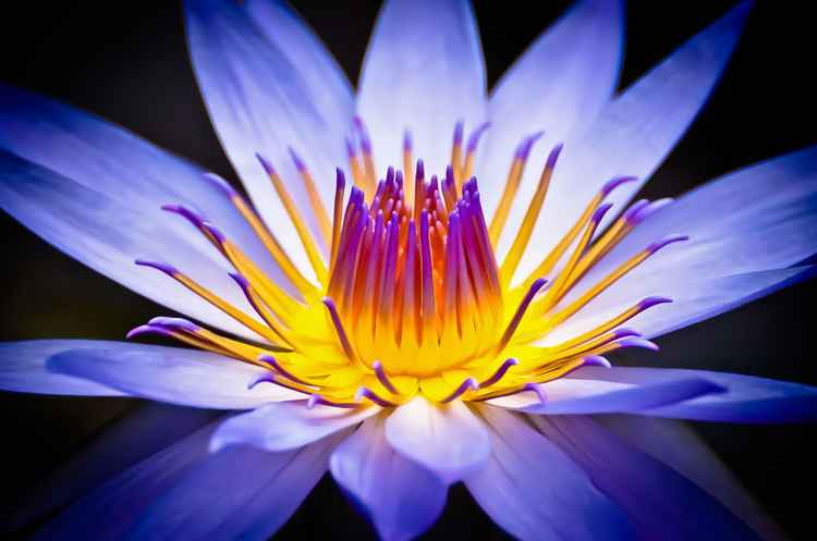 Colourful waterlily -