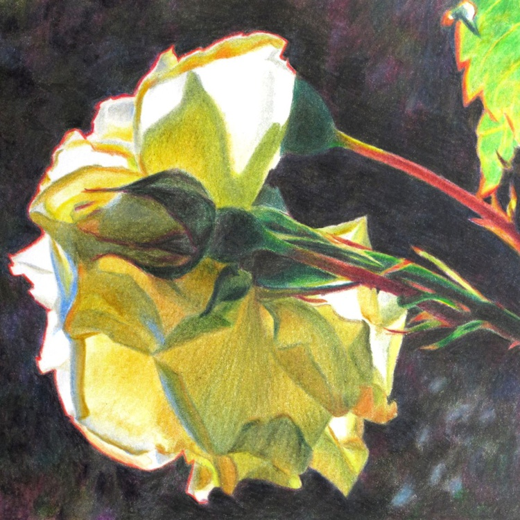 White rose in my garden -coloured pencil drawing - Image 0