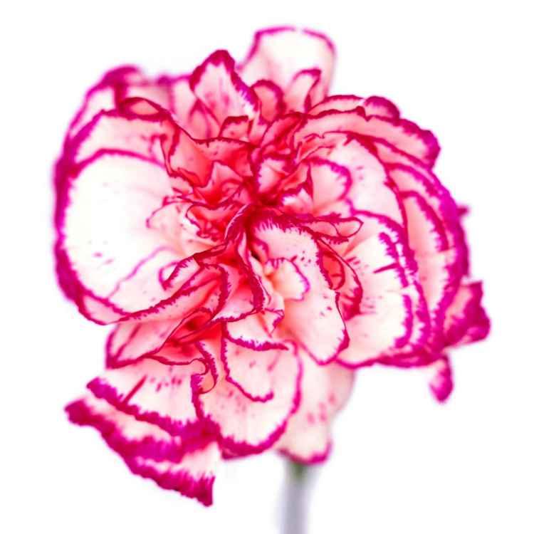 White and Magenta Fringed Carnation