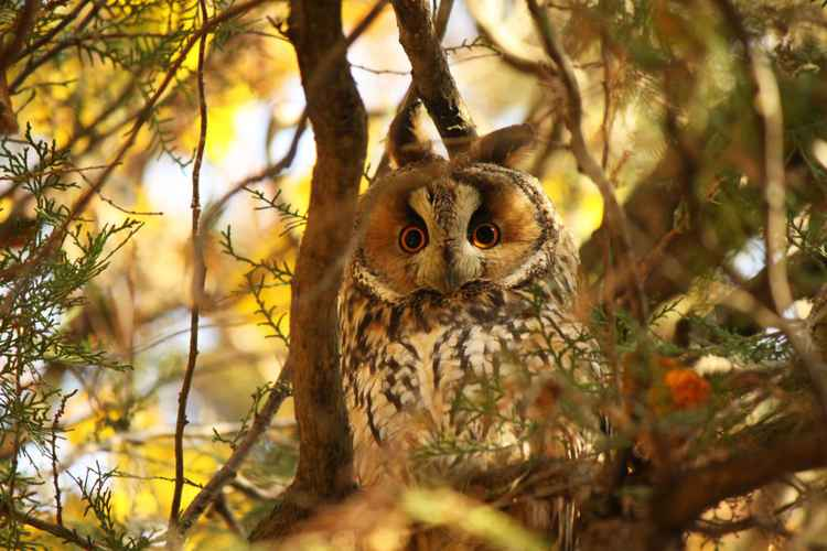 Owlet -