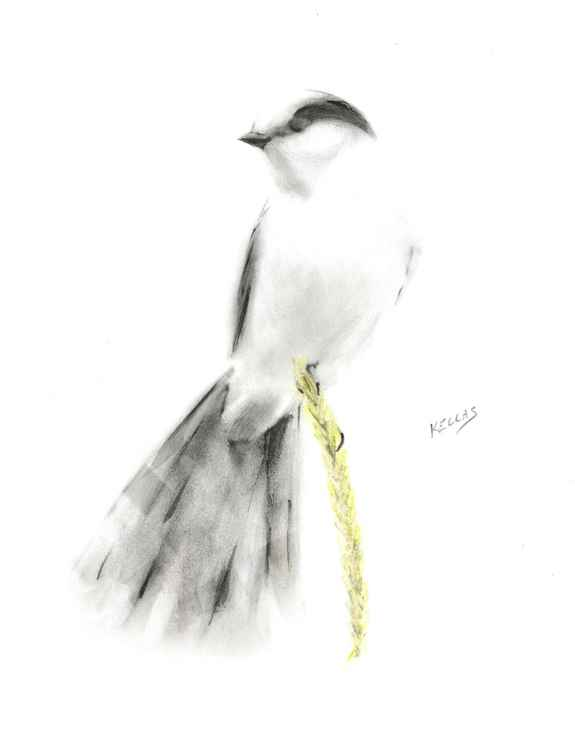 Graphite and ink gray jay -