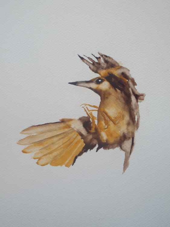 Nuthatch in Flight -