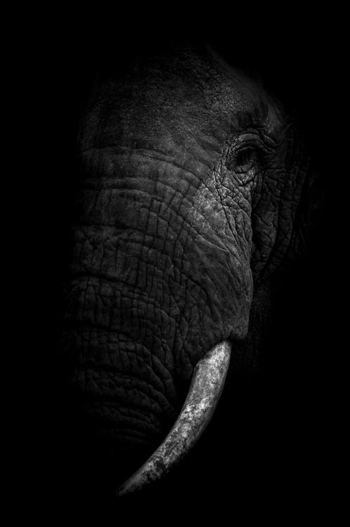 ELEPHANT'S EXTINCTION LIMITED EDITION 2/20 - Image 0