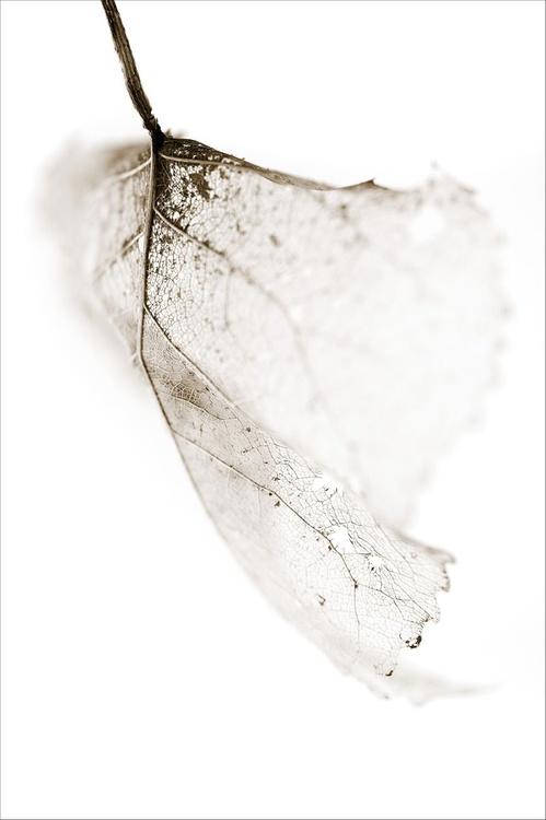 Leaf Skeleton 2 - Image 0