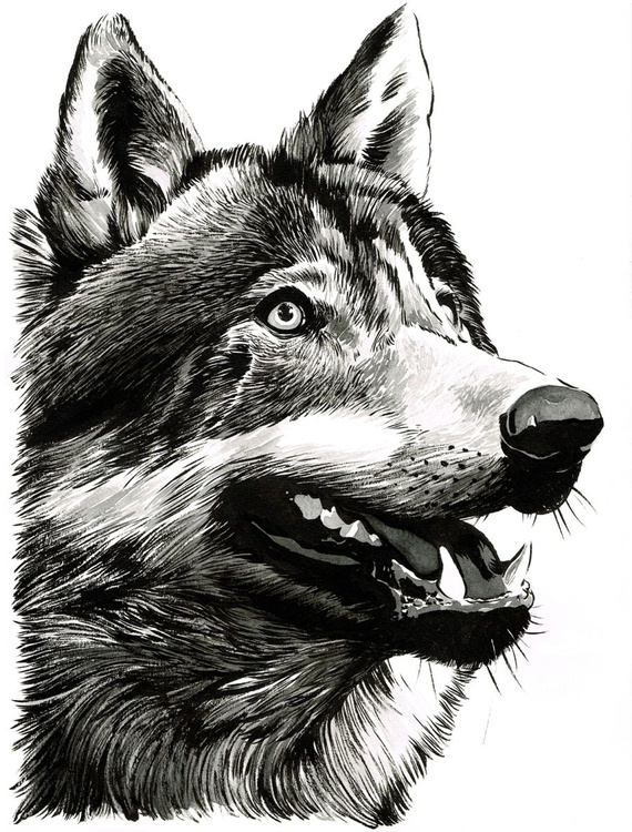 Grey Wolf (Canis lupus) - Image 0