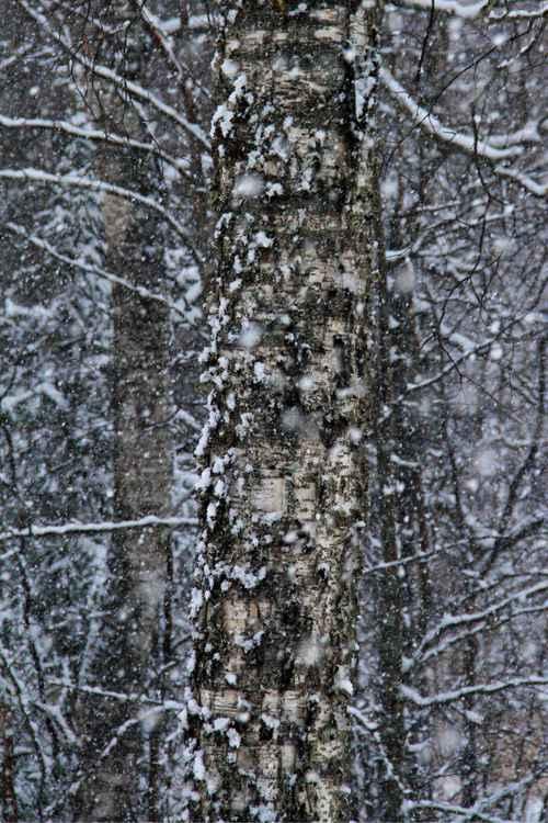 Snowy birch -